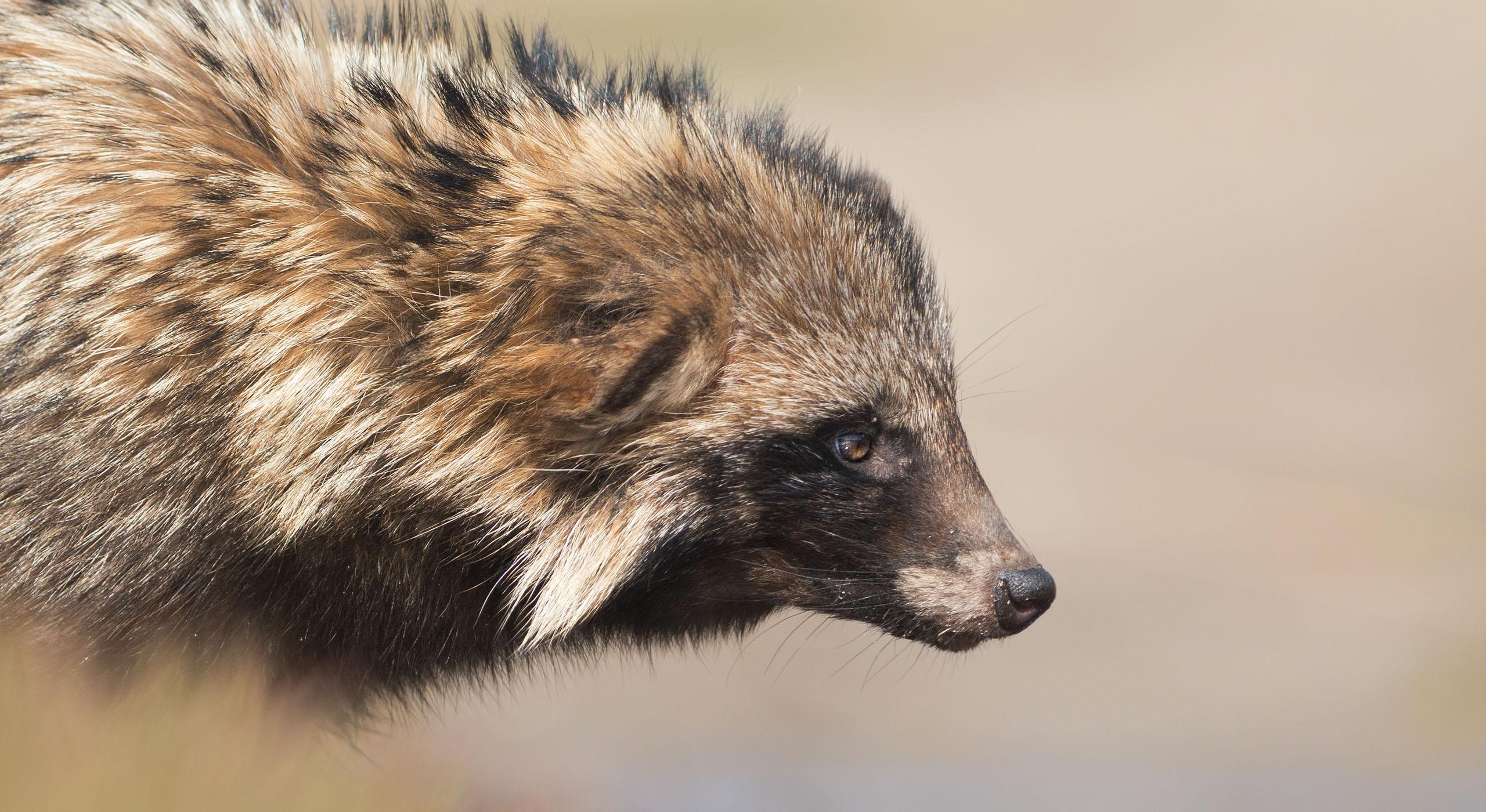 Raccoon dog portrait wast taken on Kinburn