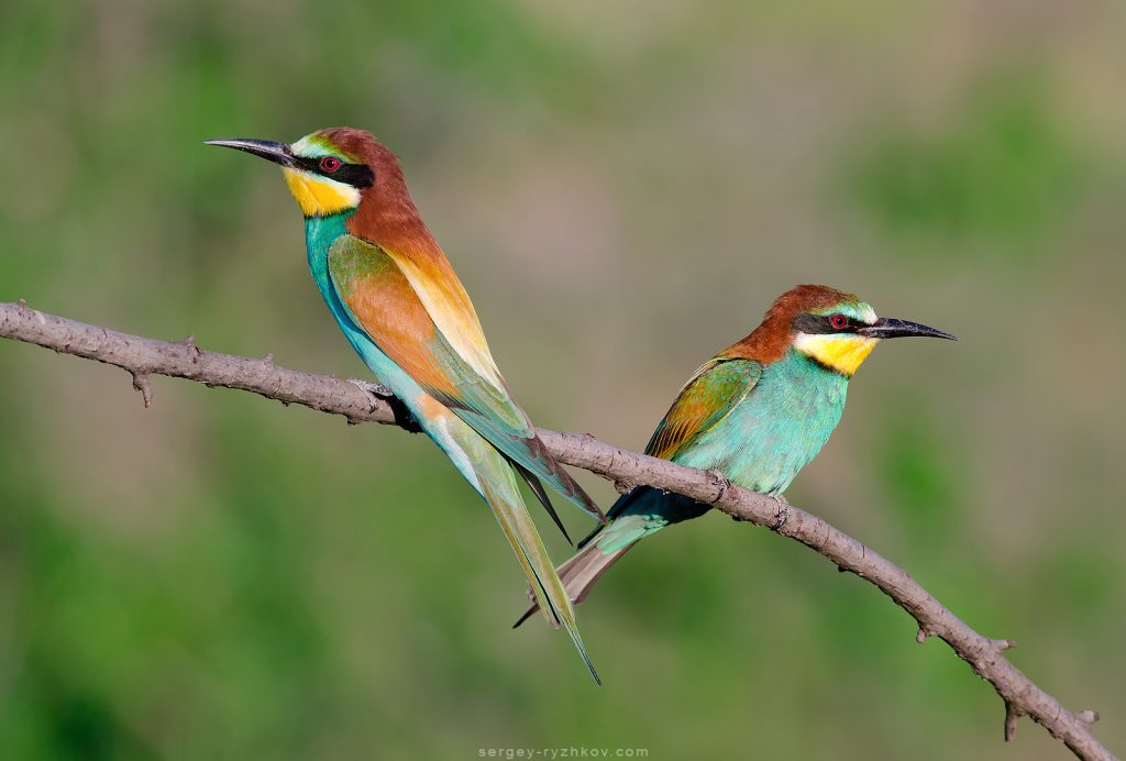 5. European Bee-Eater - Merops apiaster