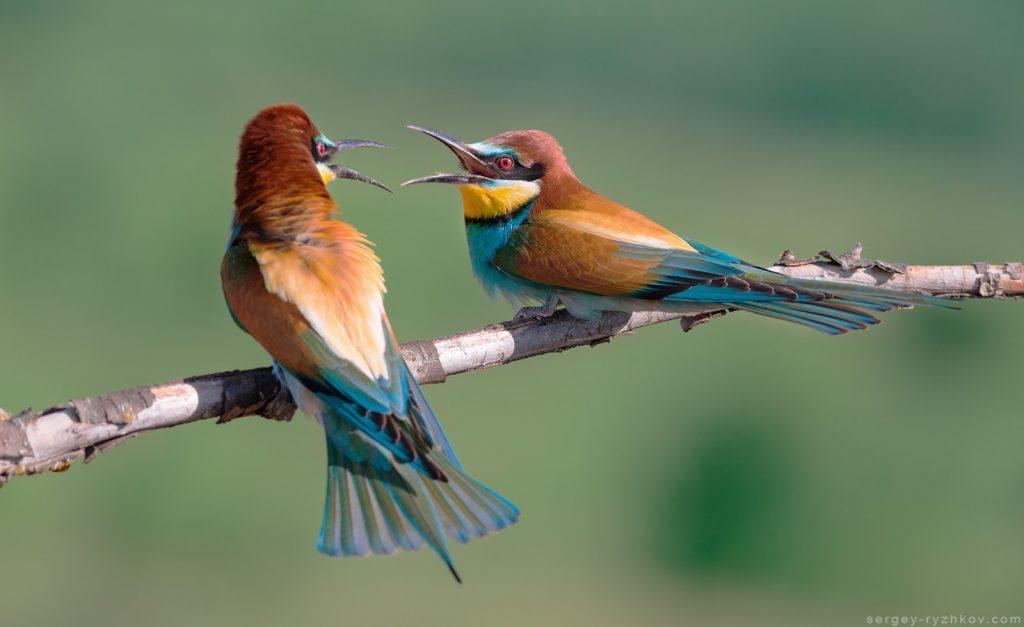 9. Суперечка двох птахів (Merops apiaster)