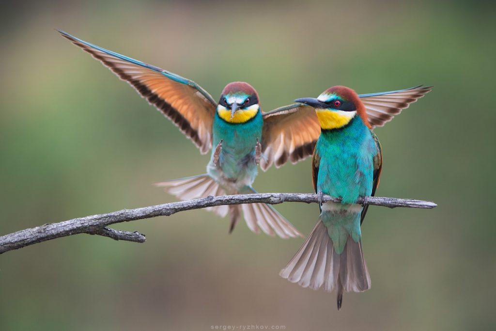 11. Пара птахів (Merops apiaster)