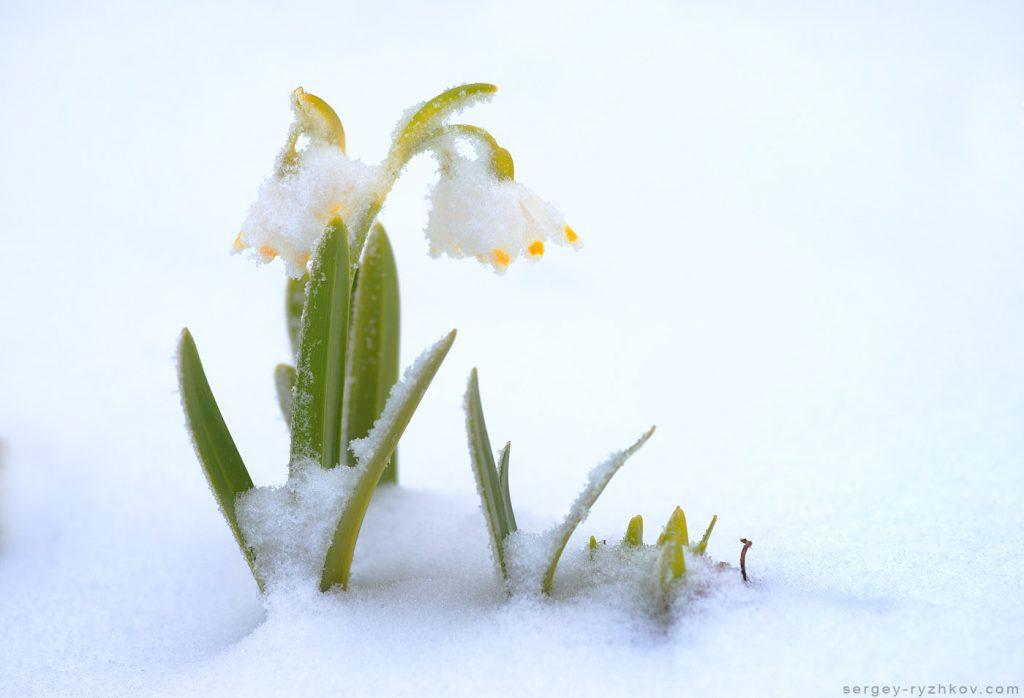 Весняні первоцвіти в снігу, Карпати