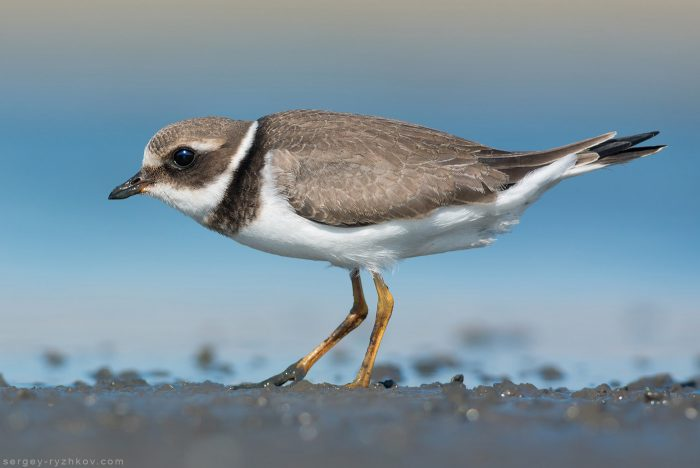Common ringed plover Juvenile