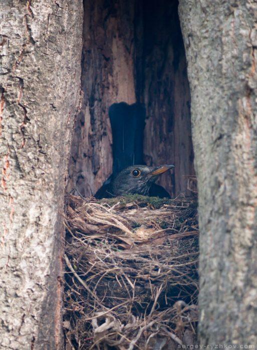 Гніздо дрозда в дуплі дерева