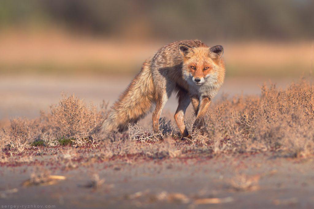 Лисиця підкрадається