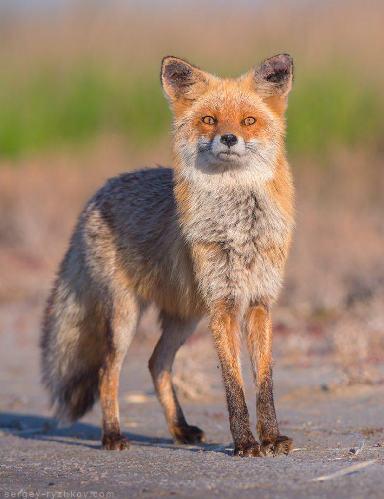Лисиця здивовано дивиться у камеру