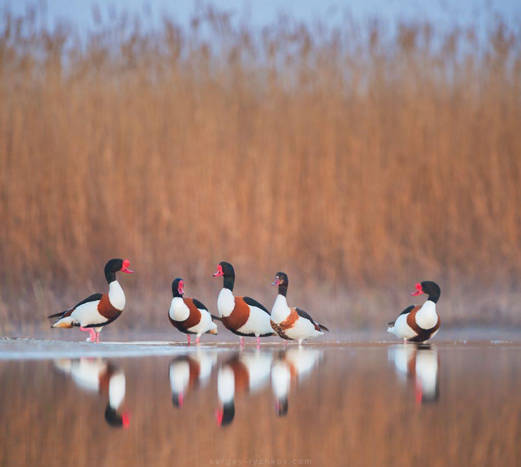 Група качок стоїть на березі під очеретом
