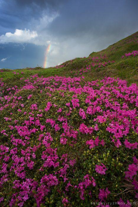 Пік цвітіння рути в Карпатах після грози