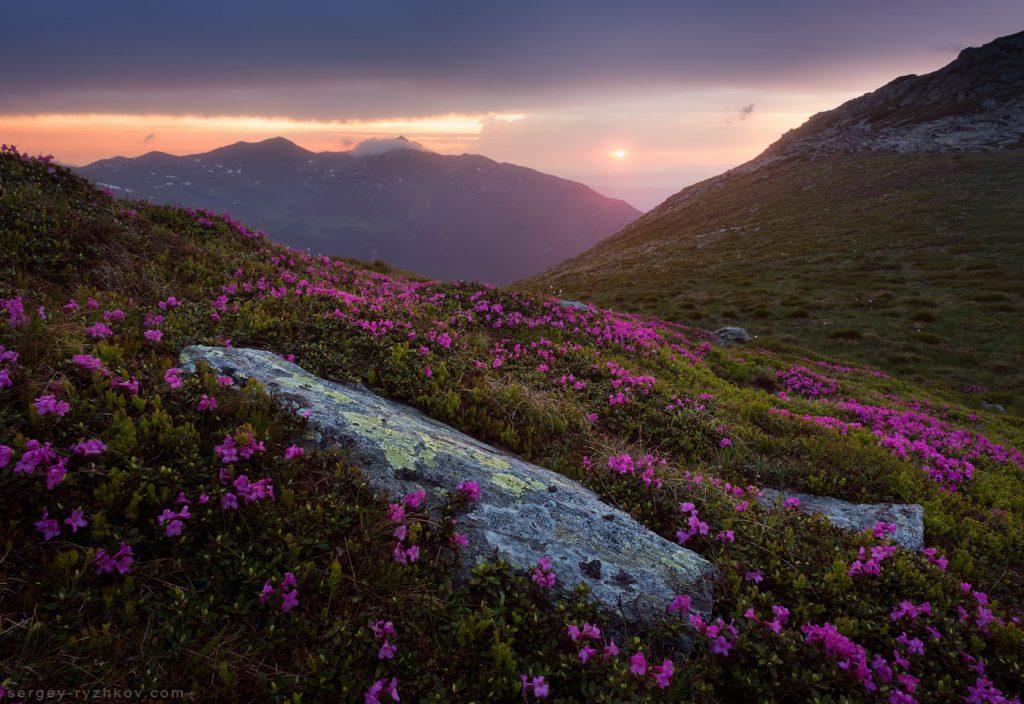 Цвітіння рододендрону карпатського