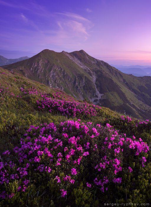 Цвітіння рододендрону в Карпатах