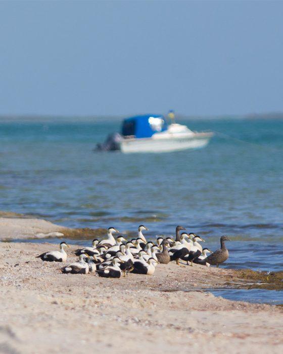 Гага та човен на пляжі