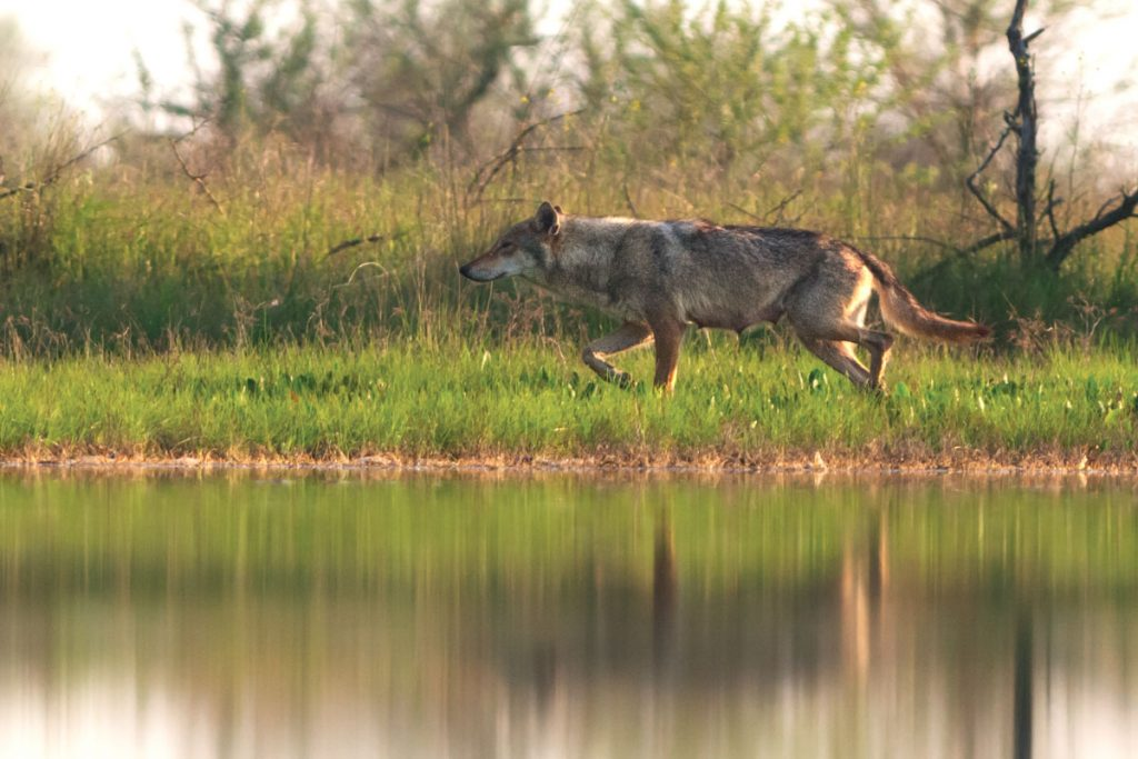 Вовки на Кінбурні