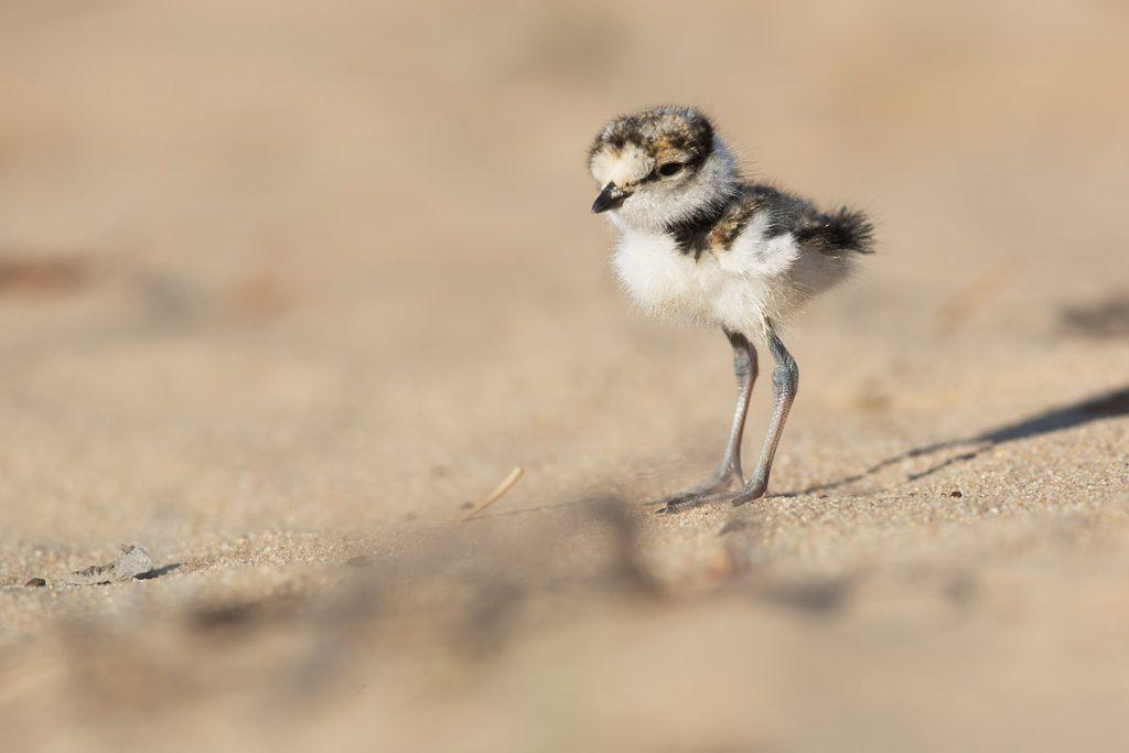 Маленьке пташеня кулика