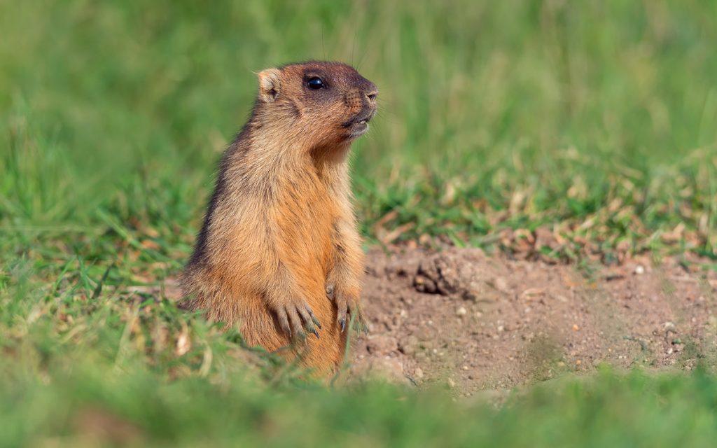 bobak marmot (Marmota bobak)