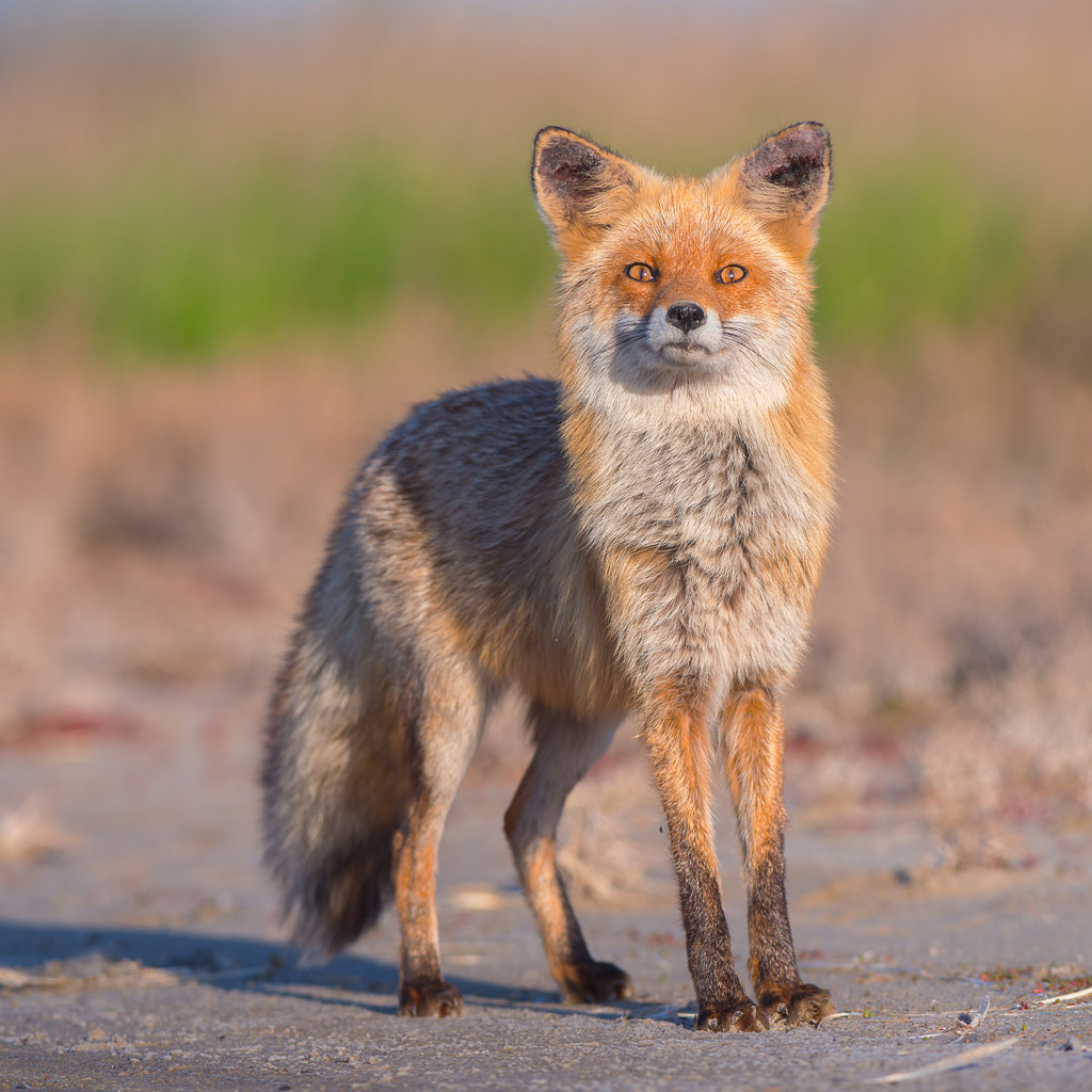 Red fox on Kinbrun peninsula, Ukraine. Vulpes vulpes