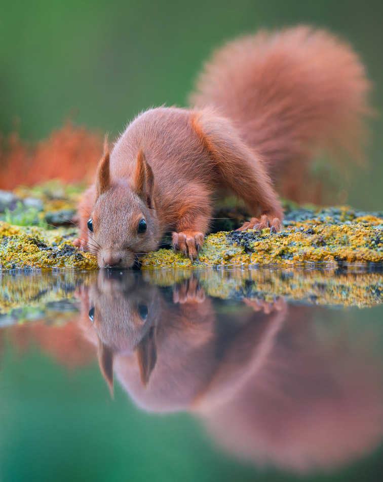 The red squirrel or Eurasian red squirrel (Sciurus vulgaris)